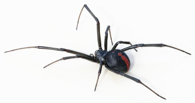 No.4 Redback spider