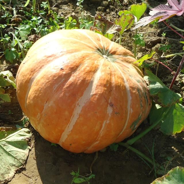 gourdgarden-1