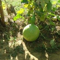 gourdgarden-3