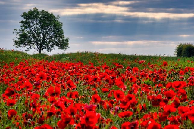 poppies-4291702_1280