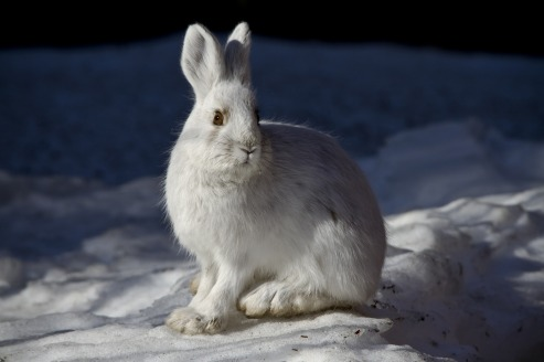 snowshoe-hare-1098932_1920